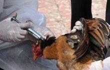 معدومسازی حدود ۹۰۰ هزار قطعه جوجه در مرغداریهای بناب به علت شیوع آنفولانزای مرغی