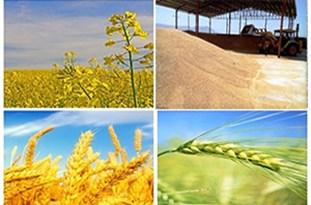مراکز خرید تضمینی گندم در استان افزایش مییابد/ خرید تضمینی گندم تنها از کشاورزان انجام میشود