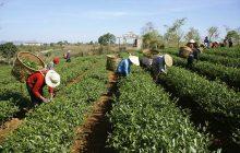 رئیس سازمان چای: ۳۰ میلیارد تومان تسهیلات به چایکاران پرداخت میشود