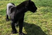 باغ وحش صفادشت میزبان نخستین پلنگ سیاه آفریقایی در ایران + تصاویر