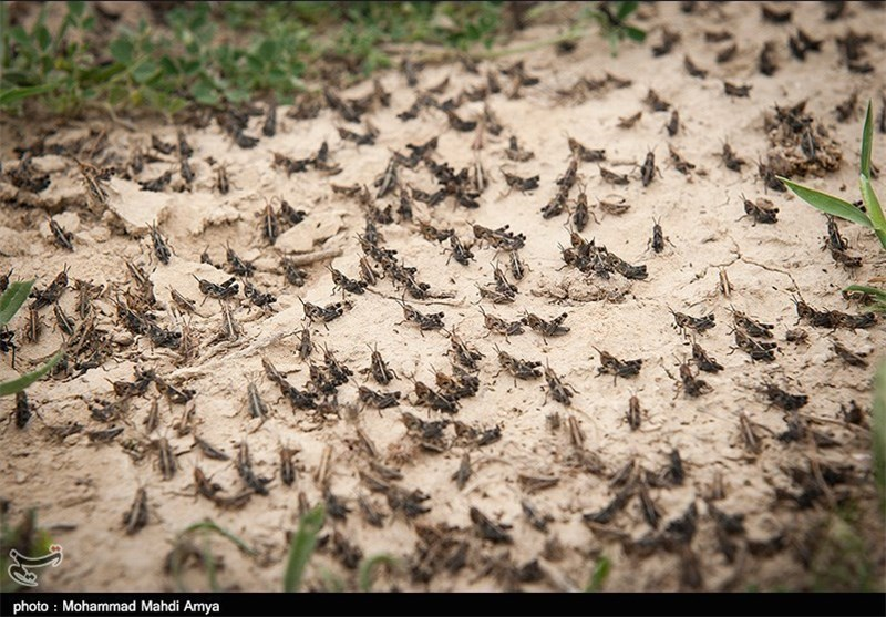 هجوم ملخهای صحرایی به اراضی کشاورزی فارس اعزام بالگرد به لارستان برای سمپاشی هوایی