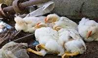 تاییدمشاهده آنفلوآنزای پرندگان در آذربایجان شرقی