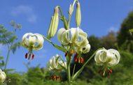 نادرترین گل جهان در داماش گیلان بهروایت تصویر